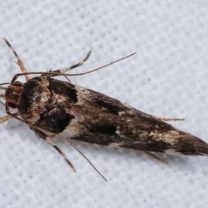 Macrobathra (genus) at Melba, ACT - 9 Jan 2021
