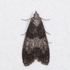 Aphomia baryptera (A pyralid moth) at Melba, ACT - 9 Jan 2021 by kasiaaus