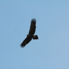 Aquila audax (Wedge-tailed Eagle) at Wallaroo, NSW - 19 Jan 2021 by davobj