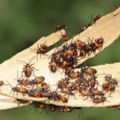 Oncopeltus (Oncopeltus) sordidus (Milk vine bug) at ANBG - 7 Jan 2021 by TimL
