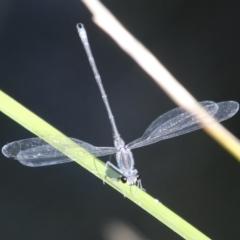 Austroargiolestes icteromelas (Common Flatwing) at Mongarlowe River - 20 Jan 2021 by LisaH