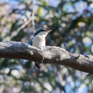 Todiramphus sanctus (Sacred Kingfisher) at Penrose by NigeHartley