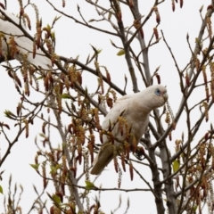 Cacatua sanguinea (Little Corella) at Penrose - 5 Oct 2020 by NigeHartley