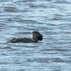 Biziura lobata (Musk Duck) at Bundanoon - 4 Aug 2020 by NigeHartley