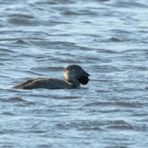 Biziura lobata (Musk Duck) at suppressed by NigeHartley