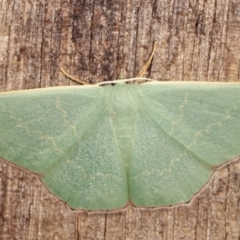 Prasinocyma semicrocea (Common Gum Emerald) at Melba, ACT - 9 Jan 2021 by kasiaaus