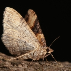 Epyaxa subidaria (Subidaria Moth) at Melba, ACT - 9 Jan 2021 by kasiaaus