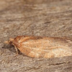 Tortricinae (subfamily) at Melba, ACT - 10 Jan 2021