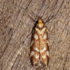 Palimmeces habrophanes (A Concealer moth) at Melba, ACT - 10 Jan 2021 by kasiaaus