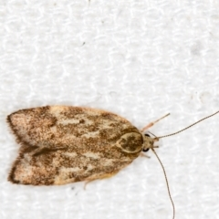Garrha phoenopis (A Concealer moth) at Melba, ACT - 31 Dec 2020 by Bron