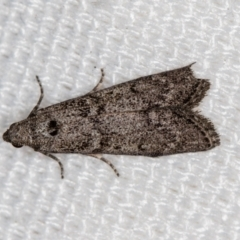 Heteromicta pachytera (Pyralid moth) at Melba, ACT - 31 Dec 2020 by Bron