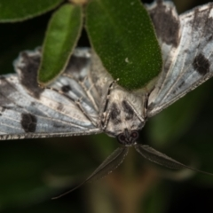 Cleora displicata (A Geometrid moth) at Melba, ACT - 31 Dec 2020 by Bron