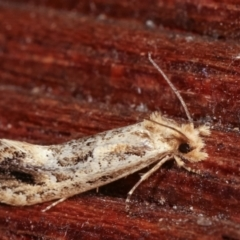 Moerarchis inconcisella (A tineid moth) at Melba, ACT - 10 Jan 2021 by kasiaaus
