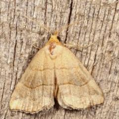 Meranda susialis (Three-lined Snout Moth) at Melba, ACT - 11 Jan 2021 by kasiaaus