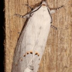 Pinara undescribed species near divisa at Melba, ACT - 11 Jan 2021 by kasiaaus