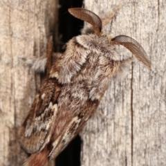 Pernattia pusilla (She-oak Moth) at Melba, ACT - 11 Jan 2021 by kasiaaus