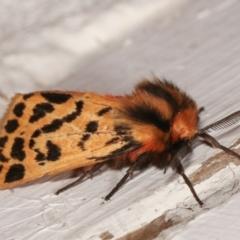 Spilosoma curvata (Crimson Tiger Moth) at Melba, ACT - 11 Jan 2021 by kasiaaus