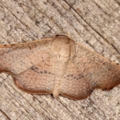 Aglaopus centiginosa (Dark-fringed Leaf Moth) at Melba, ACT - 11 Jan 2021 by kasiaaus