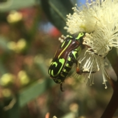 Eupoecila australasiae (Fiddler Beetle) at ANBG - 21 Jan 2021 by PeterA