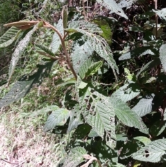 Pomaderris aspera (TBC) at - 21 Jan 2021 by plants