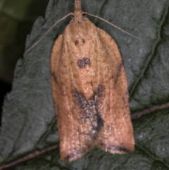 Epiphyas postvittana (Light Brown Apple Moth) at Melba, ACT - 31 Dec 2020 by Bron