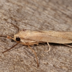 Calamidia hirta (Wedge Footman) at Melba, ACT - 11 Jan 2021 by kasiaaus