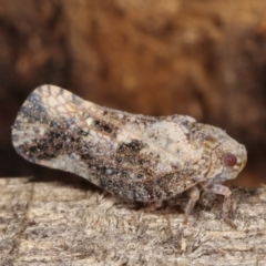 Massila sp. (genus) (Unidentified Massila planthopper) at Melba, ACT - 10 Jan 2021 by kasiaaus