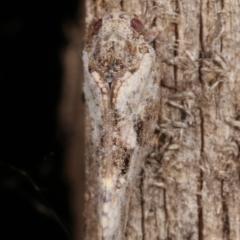 Massila sp. (genus) at Melba, ACT - 10 Jan 2021