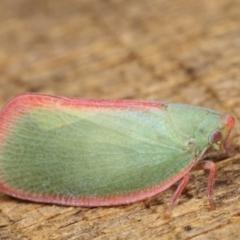 Siphanta sp. (genus) (Green planthopper, Torpedo bug) at Melba, ACT - 10 Jan 2021 by kasiaaus