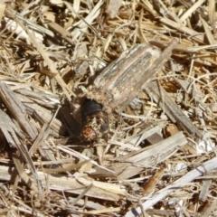 Clania sp. (genus) (A case moth) at Yass River, NSW - 20 Jan 2021 by SenexRugosus