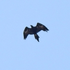 Aquila audax (Wedge-tailed Eagle) at Jerrabomberra, NSW - 21 Jan 2021 by RodDeb