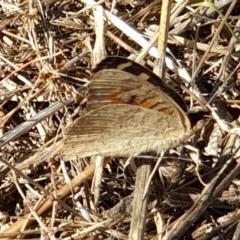 Junonia villida (Meadow Argus) at Mount Painter - 18 Jan 2021 by drakes