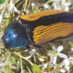 Temognatha suturalis (Boldy sutured jewel beetle) at Larbert, NSW - 21 Jan 2021 by Harrisi