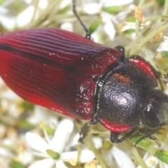 Temognatha variabilis (Variable jewel beetle) at Oallen, NSW - 21 Jan 2021 by Harrisi