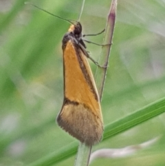 Philobota undescribed species near arabella (A concealer moth) at Cook, ACT - 11 Oct 2020 by drakes