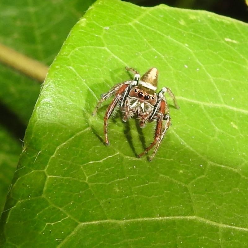 Opisthoncus sp. (genus) at ANBG - 21 Jan 2021