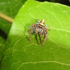 Opisthoncus sp. (genus) (Unidentified Opisthoncus jumping spider) at ANBG - 21 Jan 2021 by HelenCross
