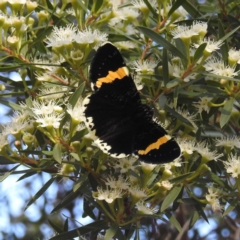 Eutrichopidia latinus (Yellow-banded Day-moth) at Acton, ACT - 21 Jan 2021 by HelenCross