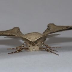 Circopetes obtusata (Grey Twisted Moth) at Googong, NSW - 21 Jan 2021 by WHall