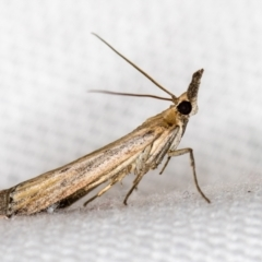 Faveria tritalis (Couchgrass Webworm) at Melba, ACT - 31 Dec 2020 by Bron