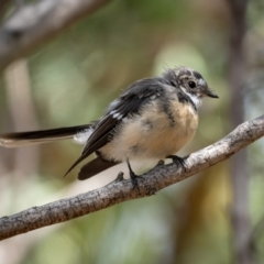 Rhipidura albiscapa (Grey Fantail) at Mulligans Flat - 20 Jan 2021 by trevsci