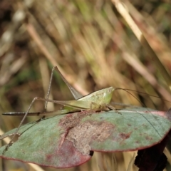 Conocephalus sp. (genus) (A Tussock Katydid) at Mount Painter - 21 Jan 2021 by CathB