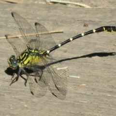 Hemigomphus gouldii (Southern Vicetail) at Cotter Reserve - 21 Jan 2021 by Christine
