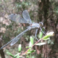 Austroargiolestes icteromelas (Common Flatwing) at Cotter Reserve - 21 Jan 2021 by Christine