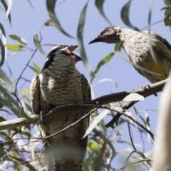 Eudynamys orientalis (Eastern Koel) at Kambah, ACT - 21 Jan 2021 by Alison Milton