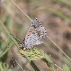 Lucia limbaria (Chequered Copper) at Tuggeranong DC, ACT - 20 Jan 2021 by AlisonMilton