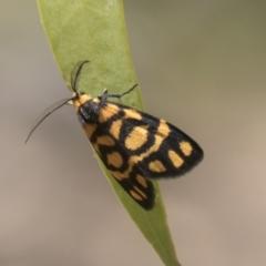 Asura lydia (Lydia Lichen Moth) at Urambi Hills - 20 Jan 2021 by AlisonMilton