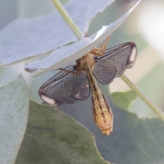 Nymphes myrmeleonoides (Blue eyes lacewing) at Tuggeranong DC, ACT - 20 Jan 2021 by AlisonMilton