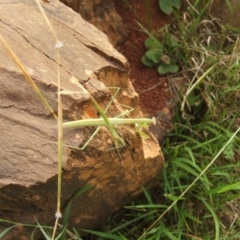 Unidentified Praying mantis (Mantodea) (TBC) at Jones Creek, NSW - 7 Jan 2011 by abread111
