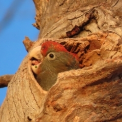 Callocephalon fimbriatum (Gang-gang Cockatoo) at Red Hill Nature Reserve - 22 Jan 2021 by roymcd